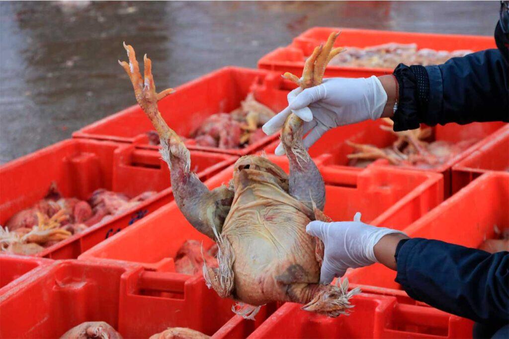Encuentran pollos en mal estado en Avícola La Chacra (VIDEO)